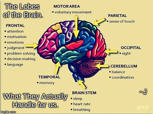 What is brain anatomy