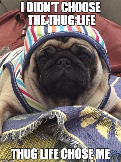 Thug Life Animal Meme   www.pixshark.com - Images ...