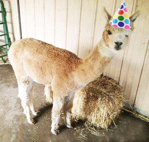 High Quality Alpaca Birthday Blank Meme Template