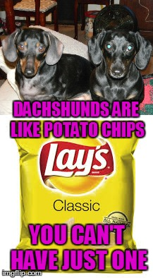 Dachshunds are like Potato Chips | DACHSHUNDS ARE LIKE POTATO CHIPS YOU CAN'T HAVE JUST ONE | image tagged in dachshunds,meme,memes,sammy the dachshund,frankie the dachshund,potato chips | made w/ Imgflip meme maker