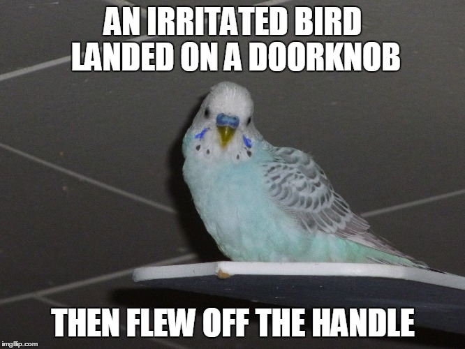 Bad Pun Parakeet | AN IRRITATED BIRD LANDED ON A DOORKNOB THEN FLEW OFF THE HANDLE | image tagged in parakeet,budgie,puns,bad pun,handle,irritated | made w/ Imgflip meme maker