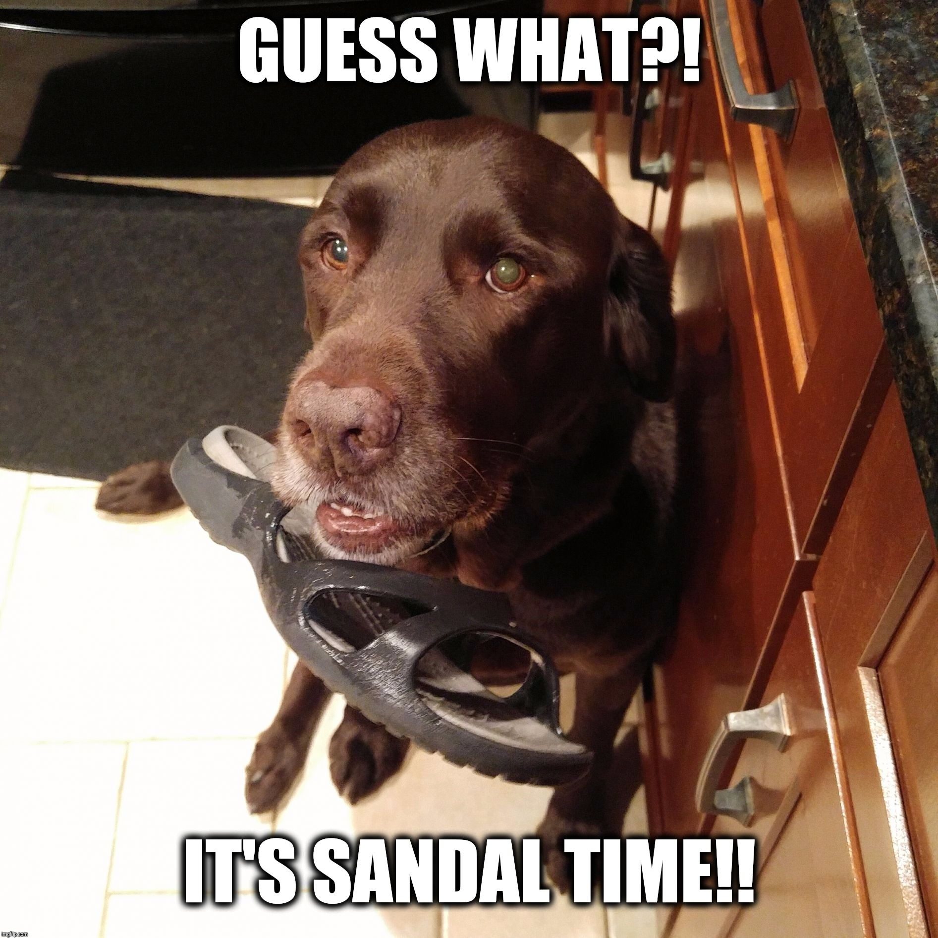 Sandal time | GUESS WHAT?! IT'S SANDAL TIME!! | image tagged in chuckie the chocolate lab,sandals,funny memes,i stole dis,dog,cute | made w/ Imgflip meme maker