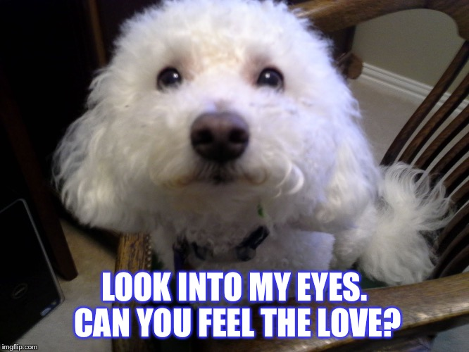 Fluffy dog | LOOK INTO MY EYES. CAN YOU FEEL THE LOVE? | image tagged in fluffy dog | made w/ Imgflip meme maker
