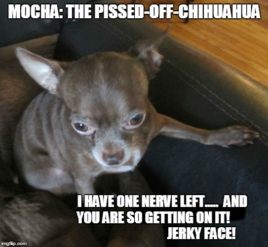 Mocha: The Pissed-Off-Chihuahua | MOCHA: THE PISSED-OFF-CHIHUAHUA I HAVE ONE NERVE LEFT.....  AND YOU ARE SO GETTING ON IT!                                      JERKY FACE! | image tagged in funny,funny memes,funny dogs,chihuahuas,funny chihuahua | made w/ Imgflip meme maker