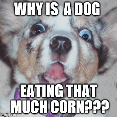 WHY IS  A DOG EATING THAT MUCH CORN??? | made w/ Imgflip meme maker