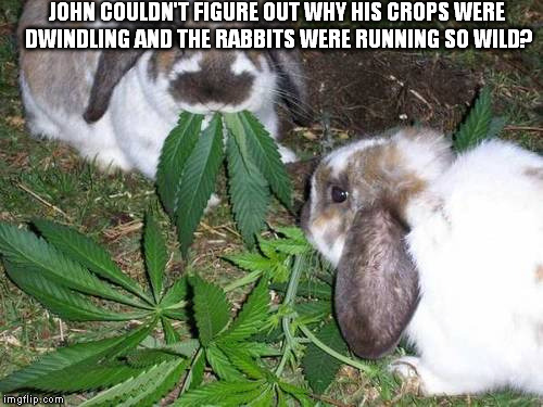 And So The Story Of Watership Down Began | JOHN COULDN'T FIGURE OUT WHY HIS CROPS WERE DWINDLING AND THE RABBITS WERE RUNNING SO WILD? | image tagged in marijuana,rabbits,eating,high,run | made w/ Imgflip meme maker