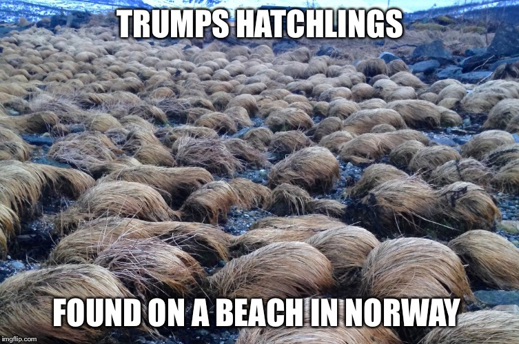 Trump army | TRUMPS HATCHLINGS FOUND ON A BEACH IN NORWAY | image tagged in memes,donald trump,wig | made w/ Imgflip meme maker