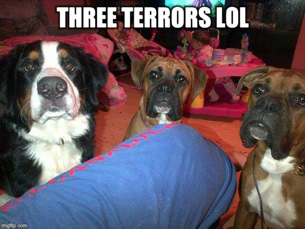 dogs | THREE TERRORS LOL | image tagged in dogs | made w/ Imgflip meme maker