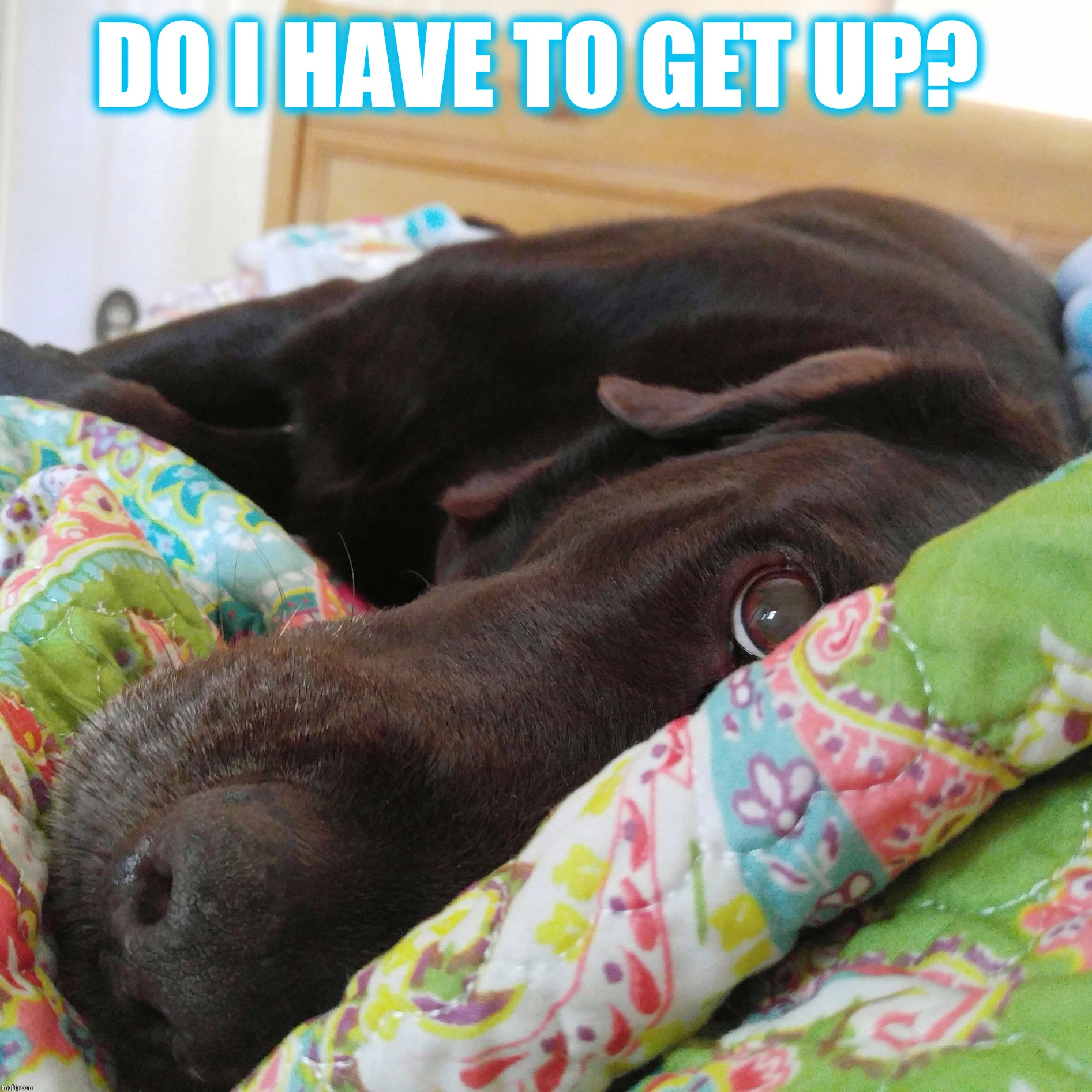 Do I have to get up?  |  DO I HAVE TO GET UP? | image tagged in chuckie the chocolate lab,funny memes,dog,so tired,sleepy,labrador | made w/ Imgflip meme maker