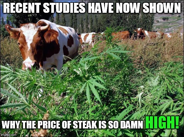 This is why steak prices are so High! | RECENT STUDIES HAVE NOW SHOWN WHY THE PRICE OF STEAK IS SO DAMN HIGH! | image tagged in cow eating marijuana,cow,pot,funny meme,joke | made w/ Imgflip meme maker