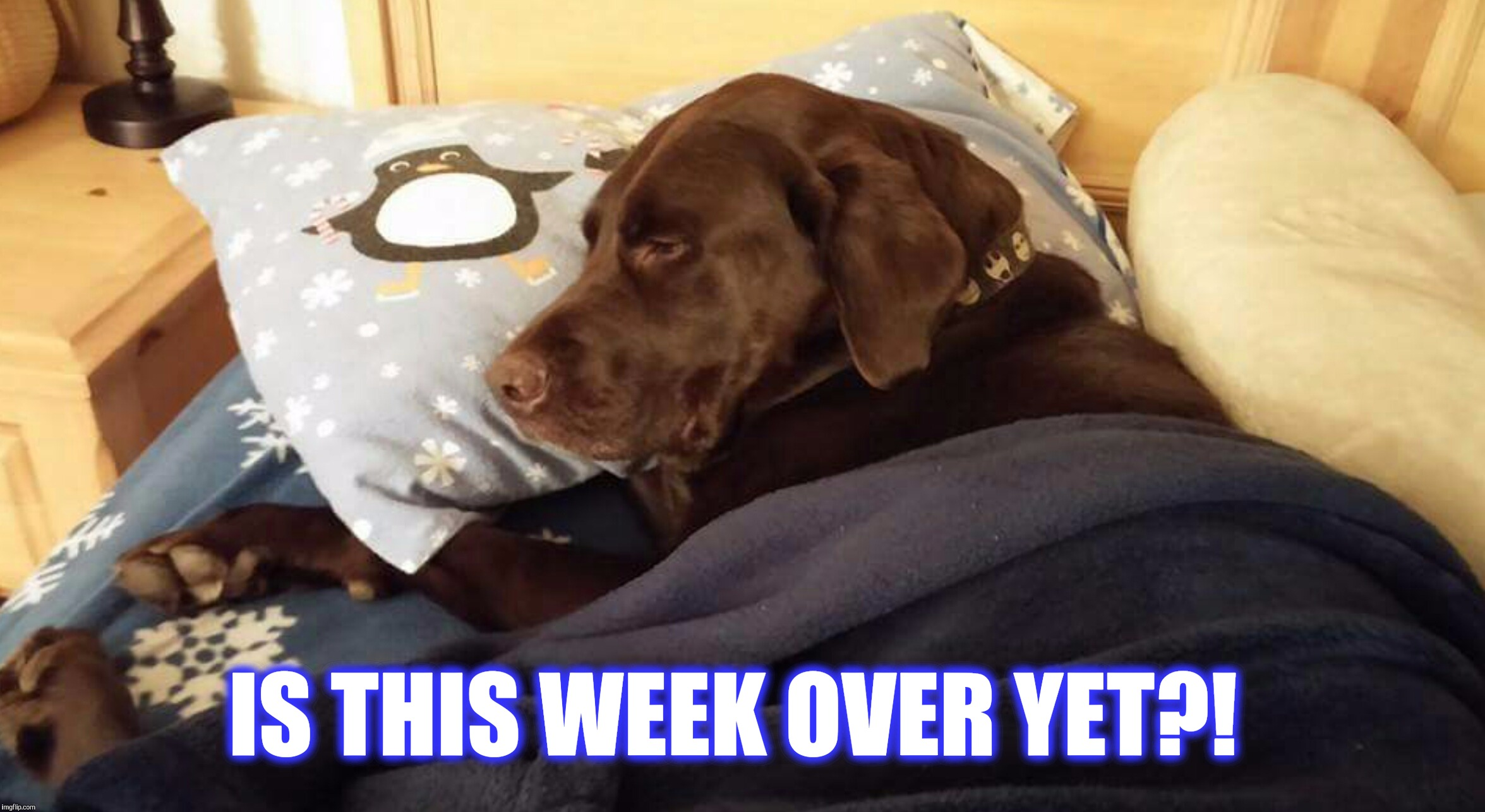 Is this week over yet?  | IS THIS WEEK OVER YET?! | image tagged in chuckie the chocolate lab,dog,cute animals,sleepy dog,funny memes,so tired | made w/ Imgflip meme maker