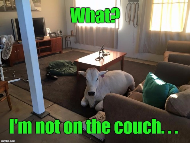...because everyone should have a house-trained cow | What? I'm not on the couch. . . | image tagged in house cow,memes,funny,cow,farm,pets | made w/ Imgflip meme maker