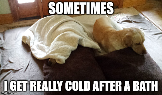 SOMETIMES; I GET REALLY COLD AFTER A BATH | image tagged in labs | made w/ Imgflip meme maker