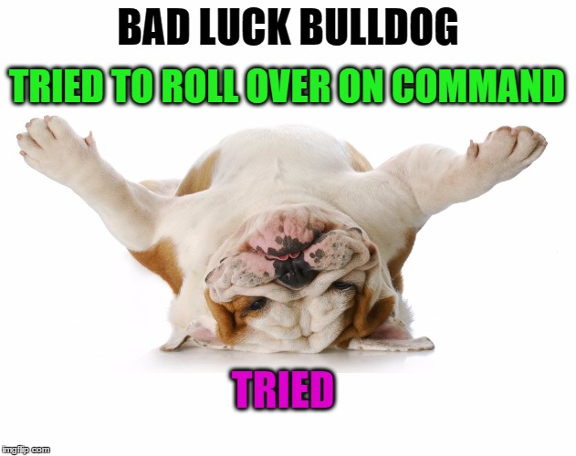 Bad Luck Bulldog.  Short and wide with a low center of gravity | BAD LUCK BULLDOG TRIED TO ROLL OVER ON COMMAND TRIED | image tagged in memes,funny,bulldog,dog,tricks,pets | made w/ Imgflip meme maker