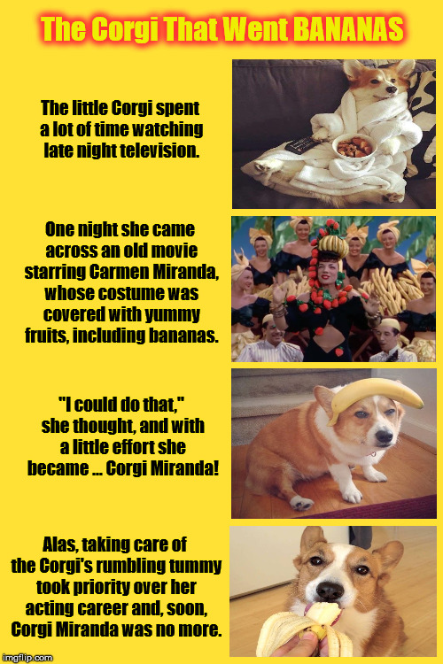 The Corgi That Went BANANAS | The little Corgi spent a lot of time watching late night television. Alas, taking care of the Corgi's rumbling tummy took priority over her  | image tagged in corgi,pembroke welsh corgi,carmen miranda,bananas,memes,dogs | made w/ Imgflip meme maker