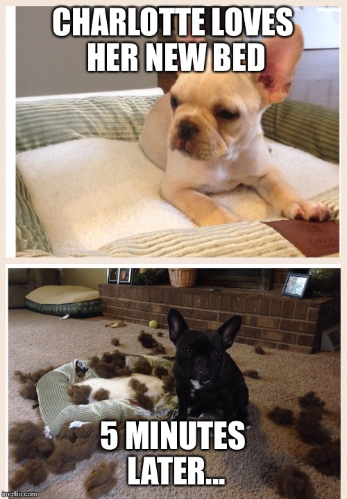 French bulldog puppy bed | CHARLOTTE LOVES HER NEW BED 5 MINUTES LATER... | image tagged in french bulldog,frenchie,cute puppy | made w/ Imgflip meme maker