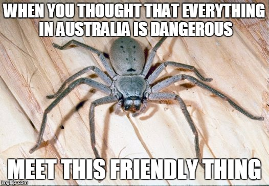 Not everything in Australia is dangerous! |  WHEN YOU THOUGHT THAT EVERYTHING IN AUSTRALIA IS DANGEROUS; MEET THIS FRIENDLY THING | image tagged in spiders,australia | made w/ Imgflip meme maker