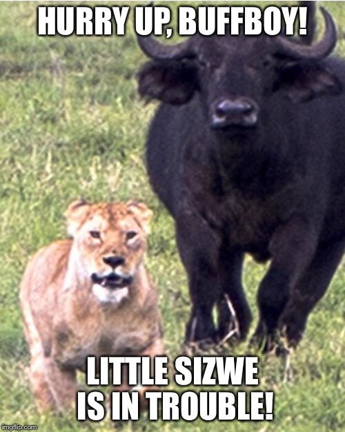 water buffalo chasing lioness imgflip