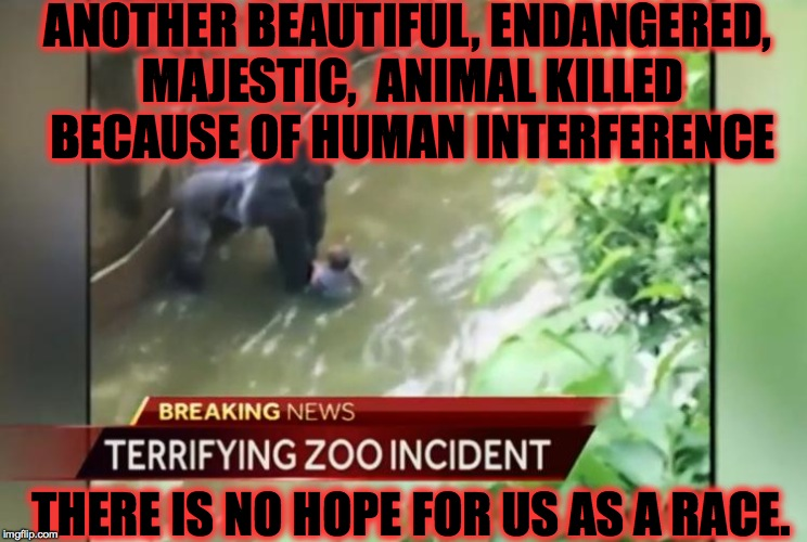 What we have done on this planet in such a short time will be the death of us, the human race is waiting for the ultimate karma. | ANOTHER BEAUTIFUL, ENDANGERED, MAJESTIC,  ANIMAL KILLED BECAUSE OF HUMAN INTERFERENCE THERE IS NO HOPE FOR US AS A RACE. | image tagged in animals,disgusting,death,cincinnati,gorilla,memes | made w/ Imgflip meme maker