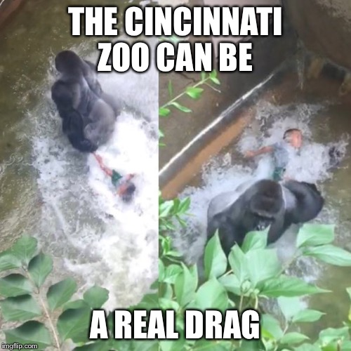 Cincinnati zoo | THE CINCINNATI ZOO CAN BE A REAL DRAG | image tagged in cincinnati,zoo,gorilla | made w/ Imgflip meme maker