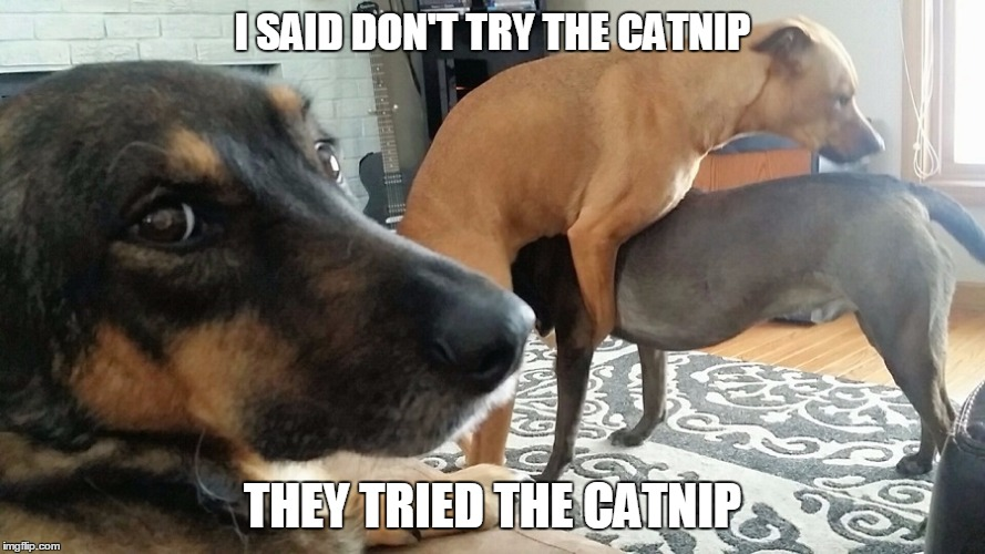 They tried the catnip |  I SAID DON'T TRY THE CATNIP; THEY TRIED THE CATNIP | image tagged in funny dogs,dogs | made w/ Imgflip meme maker