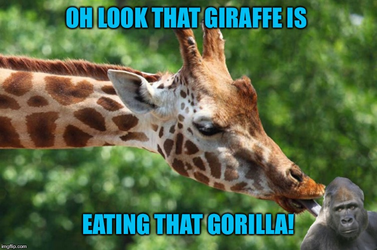 My 6 year old granddaughter made this one, including the Photoshopping !!! She doesn't know there's already a dead gorilla  | OH LOOK THAT GIRAFFE IS EATING THAT GORILLA! | image tagged in memes,funny,photoshop,kids,dead gorilla,funny giraffe | made w/ Imgflip meme maker