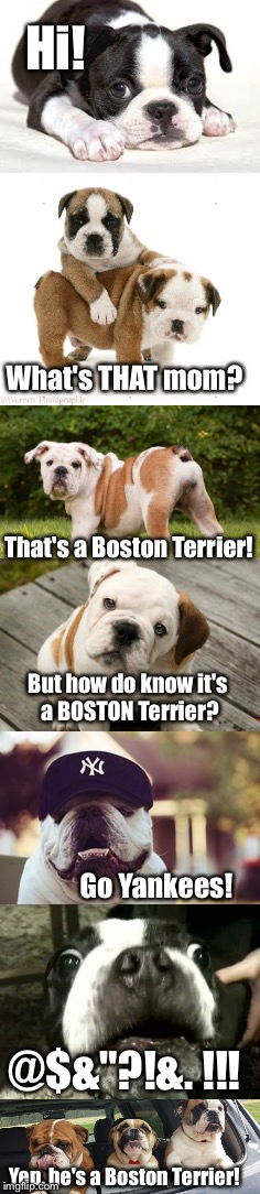 "How to identify a Boston Terrier: via Major League Baseball.  | Hi! What's THAT mom? That's a Boston Terrier! But how do know it's a BOSTON Terrier? Go Yankees! @$&""?!&. !!! Yep, he's a Boston Terrier! 