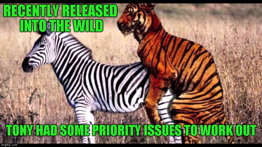If she's ripe with stripes, he's in like Flynn. | RECENTLY RELEASED INTO THE WILD TONY HAD SOME PRIORITY ISSUES TO WORK OUT | image tagged in tiger with zebra,memes,funny animals,animals,funny,tiger wood | made w/ Imgflip meme maker