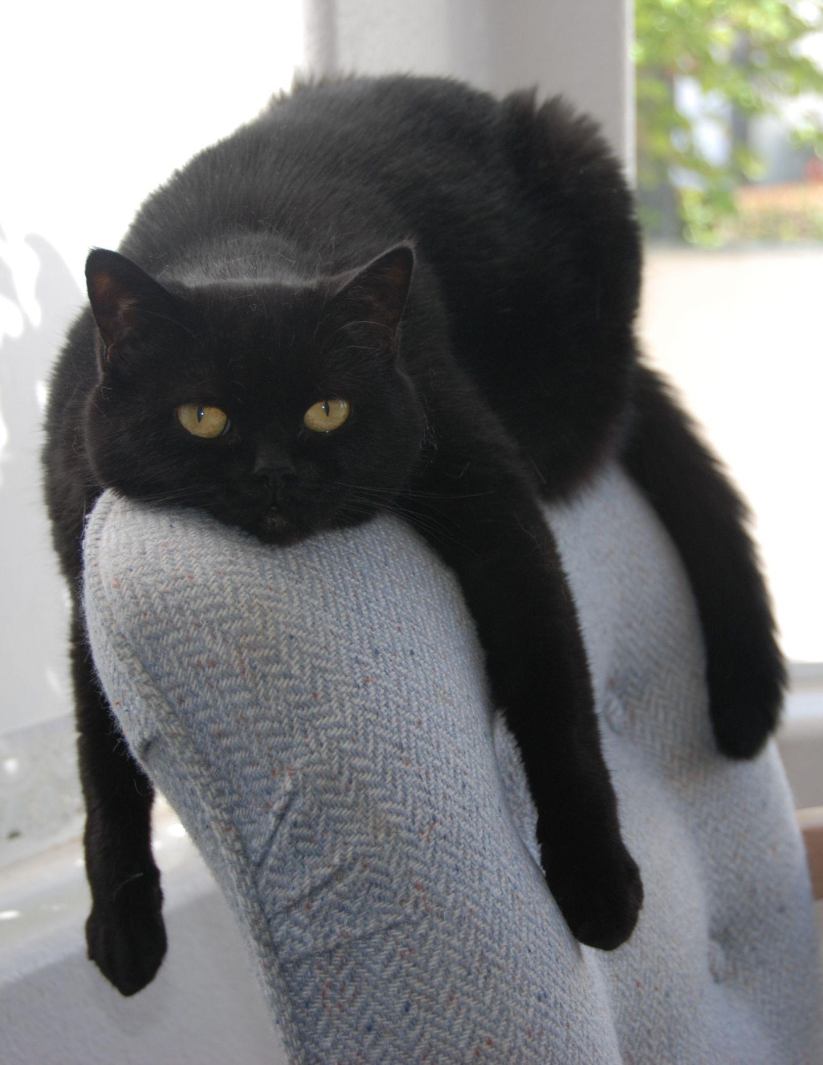 Black Cat Draped On Chair Meme Generator Imgflip