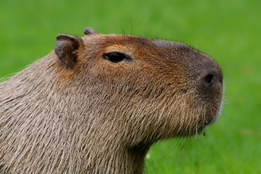 Anonymous Capybara Meme Template