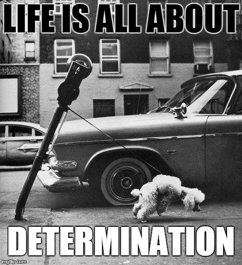 Determination |  LIFE IS ALL ABOUT; DETERMINATION | image tagged in determination,poodle,monochrome | made w/ Imgflip meme maker