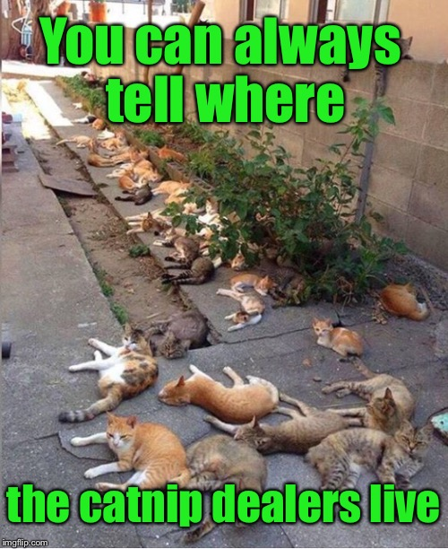 The first sign of a seedy neighborhood | You can always tell where the catnip dealers live | image tagged in memes,funny,cats,dealer,catnip | made w/ Imgflip meme maker