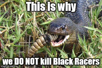 This is why; we DO NOT kill Black Racers | image tagged in black racer eats rattlesnake | made w/ Imgflip meme maker