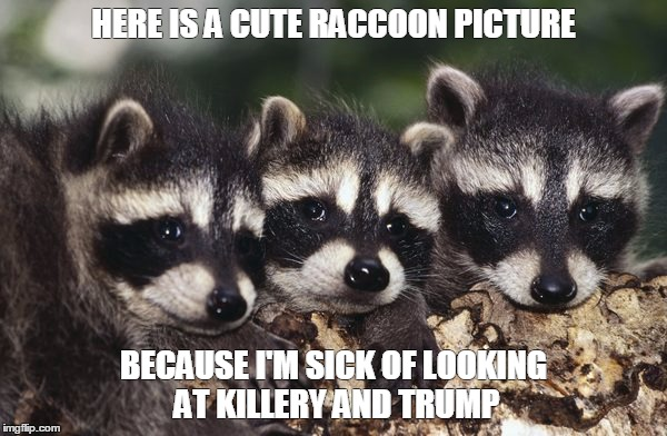 No more politics | HERE IS A CUTE RACCOON PICTURE BECAUSE I'M SICK OF LOOKING AT KILLERY AND TRUMP | image tagged in no more politics | made w/ Imgflip meme maker