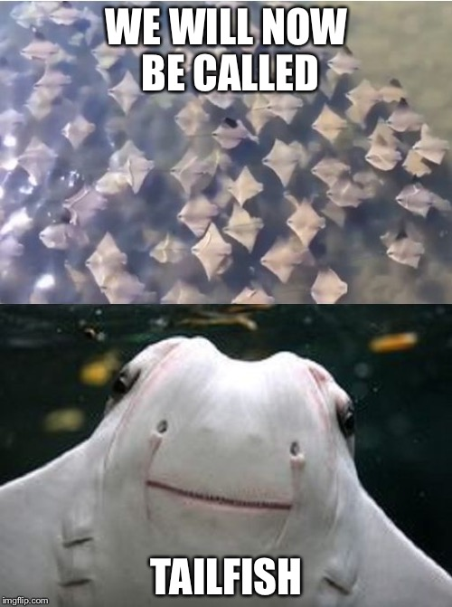 Sting Rays | WE WILL NOW BE CALLED TAILFISH | image tagged in sting rays | made w/ Imgflip meme maker