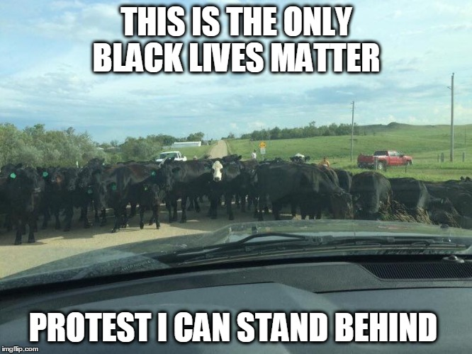 Black cow lives | THIS IS THE ONLY BLACK LIVES MATTER PROTEST I CAN STAND BEHIND | image tagged in matter,protest,cows,all lives matter | made w/ Imgflip meme maker