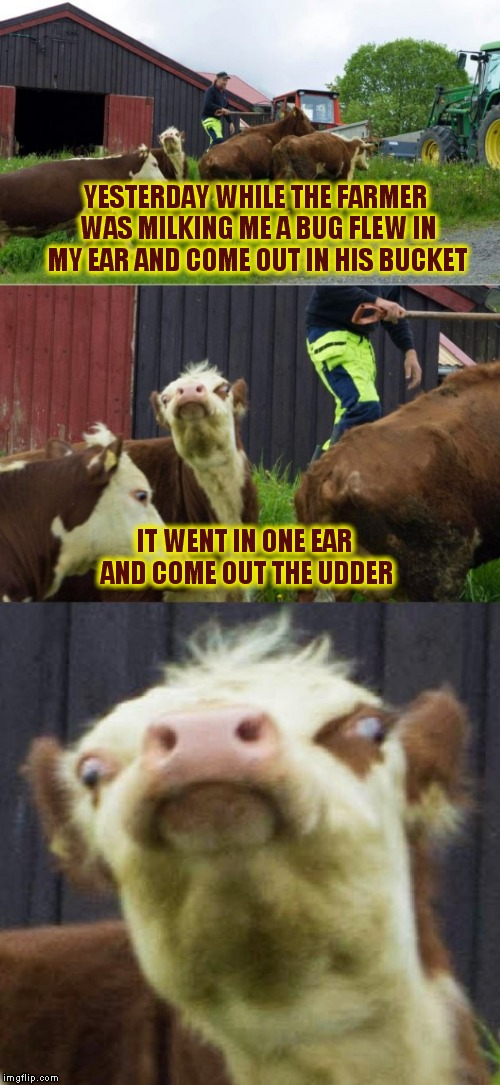 Bad pun cow  | YESTERDAY WHILE THE FARMER WAS MILKING ME A BUG FLEW IN MY EAR AND COME OUT IN HIS BUCKET IT WENT IN ONE EAR AND COME OUT THE UDDER | image tagged in bad pun cow | made w/ Imgflip meme maker