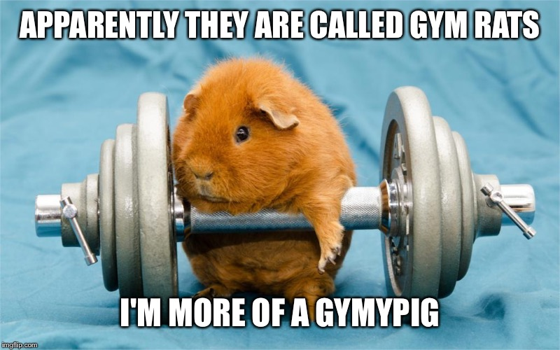 When the gym's your thing but you don't quite get it ...  |  APPARENTLY THEY ARE CALLED GYM RATS; I'M MORE OF A GYMYPIG | image tagged in gym,gymlife,guinea pig,funny,cute | made w/ Imgflip meme maker