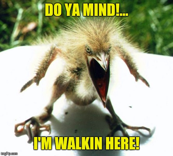 Unpleasant Bird. |  DO YA MIND!... I'M WALKIN HERE! | image tagged in angry bird,sewmyeyesshut,funny memes,zippity do da | made w/ Imgflip meme maker