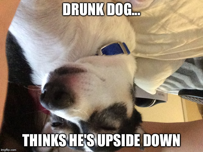 DRUNK DOG... THINKS HE'S UPSIDE DOWN | image tagged in high dog | made w/ Imgflip meme maker