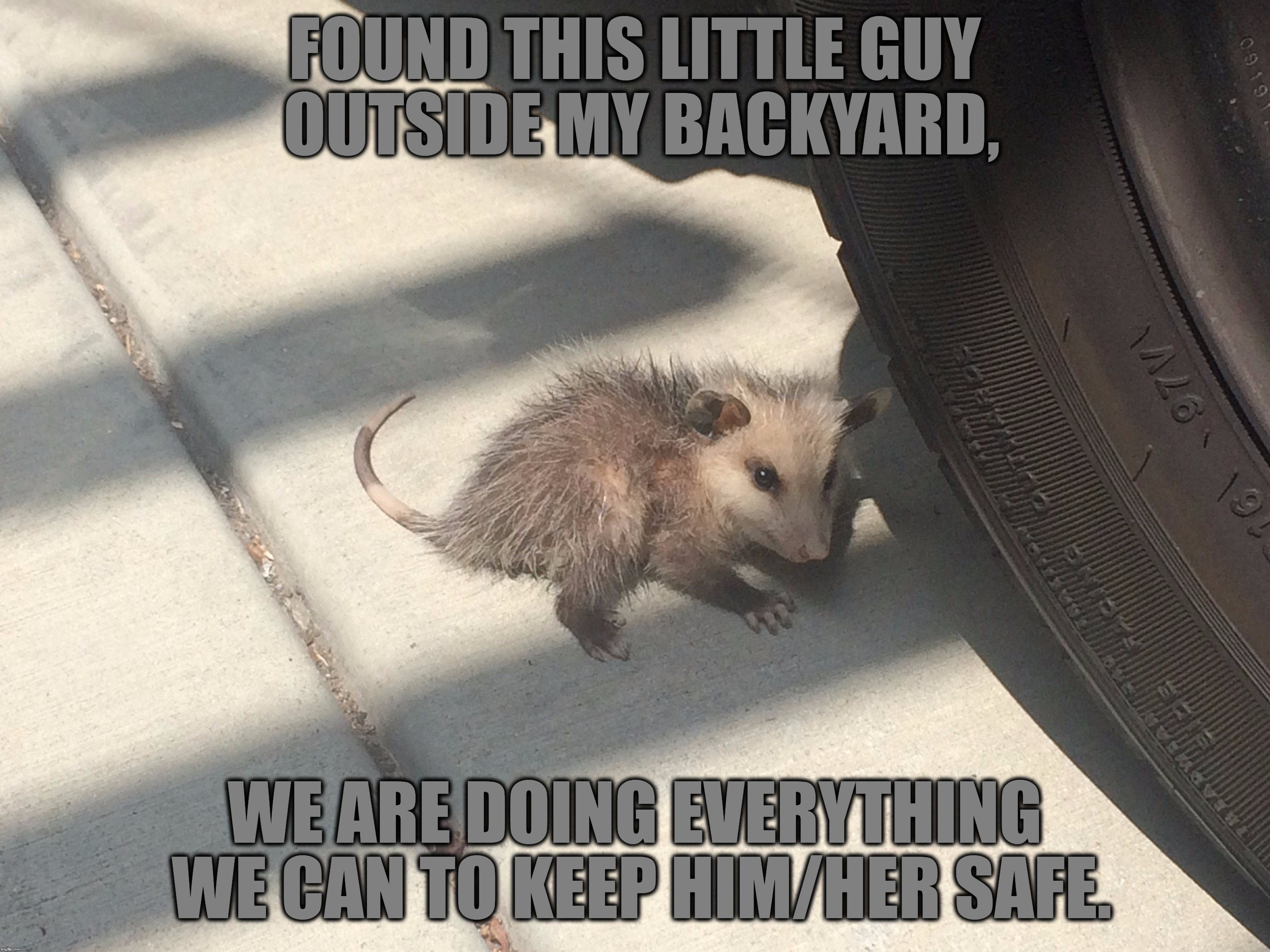 Meet Squibbles The Opossum | FOUND THIS LITTLE GUY OUTSIDE MY BACKYARD, WE ARE DOING EVERYTHING WE CAN TO KEEP HIM/HER SAFE. | image tagged in memes,animals,little guy,waiting for animal control to pick him up,backyard,outside | made w/ Imgflip meme maker