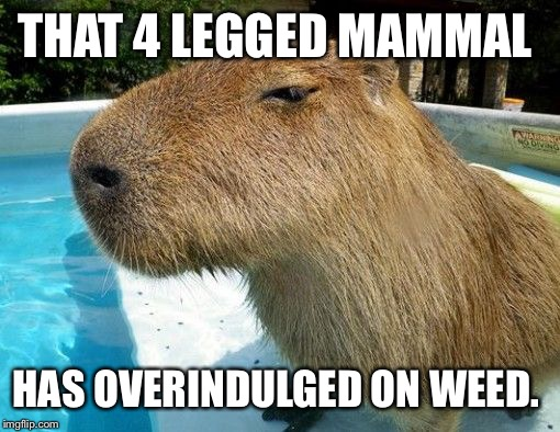 THAT 4 LEGGED MAMMAL HAS OVERINDULGED ON WEED. | image tagged in side eye capybara | made w/ Imgflip meme maker