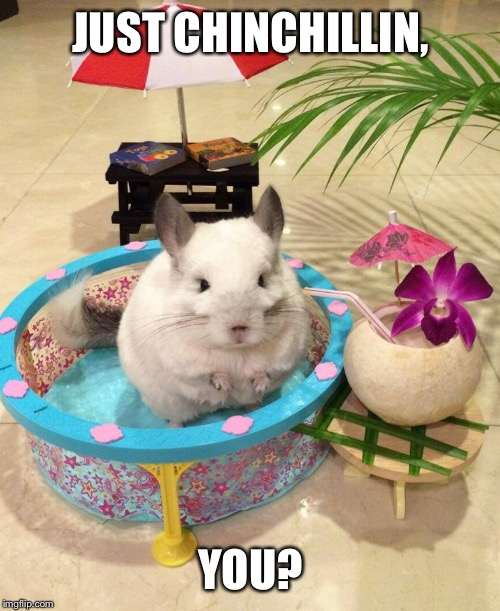 Chinchilla Chinchillin  | JUST CHINCHILLIN, YOU? | image tagged in chinchilla chinchillin | made w/ Imgflip meme maker
