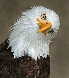 bald eagle tilt blank template imgflip