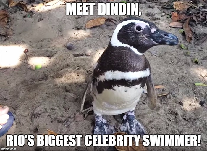 Dindin The Penguin | MEET DINDIN, RIO'S BIGGEST CELEBRITY SWIMMER! | image tagged in memes,animals,funny,penguin,2016 rio olympics,olympian swim | made w/ Imgflip meme maker