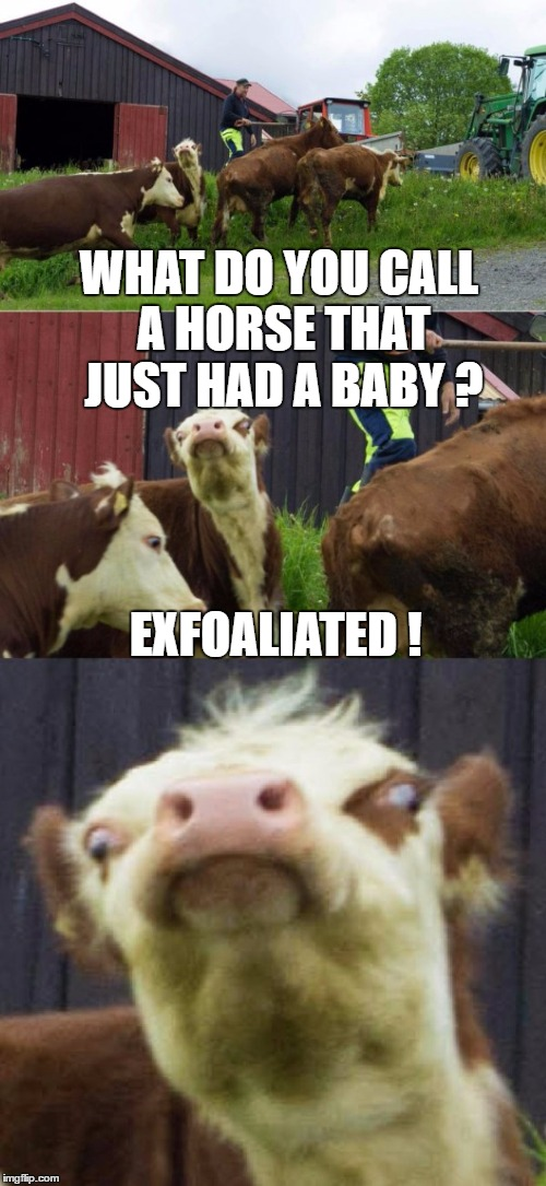 Bad pun cow horse joke | WHAT DO YOU CALL A HORSE THAT JUST HAD A BABY ? EXFOALIATED ! | image tagged in bad pun cow,memes,bad pun,horse,baby | made w/ Imgflip meme maker