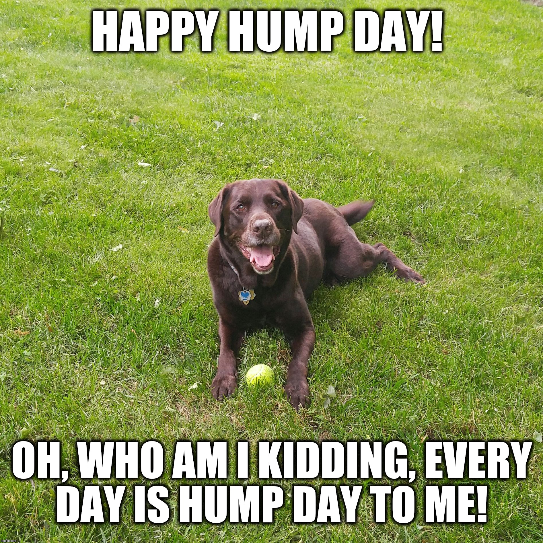 Happy Hump Day!  | HAPPY HUMP DAY! OH, WHO AM I KIDDING, EVERY DAY IS HUMP DAY TO ME! | image tagged in chuckie the chocolate lab,hump day,funny dog memes,funny,dog,labrador | made w/ Imgflip meme maker