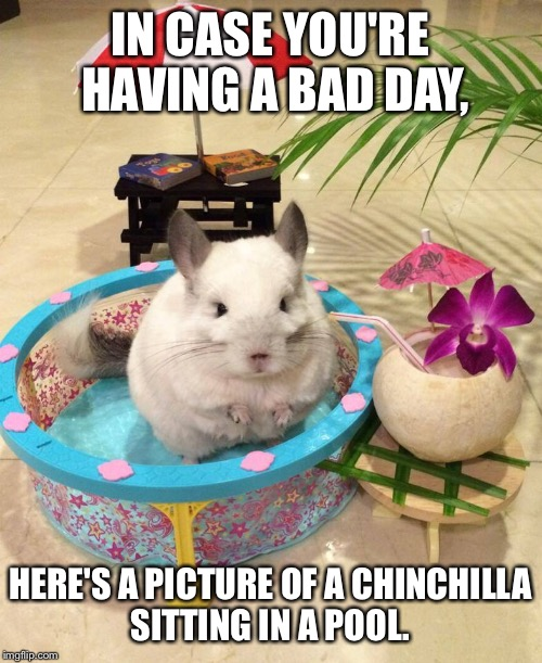 Sometimes we all need a little encouragement.   | IN CASE YOU'RE HAVING A BAD DAY, HERE'S A PICTURE OF A CHINCHILLA SITTING IN A POOL. | image tagged in chinchilla chinchillin,chill,having a bad day,encouragement | made w/ Imgflip meme maker