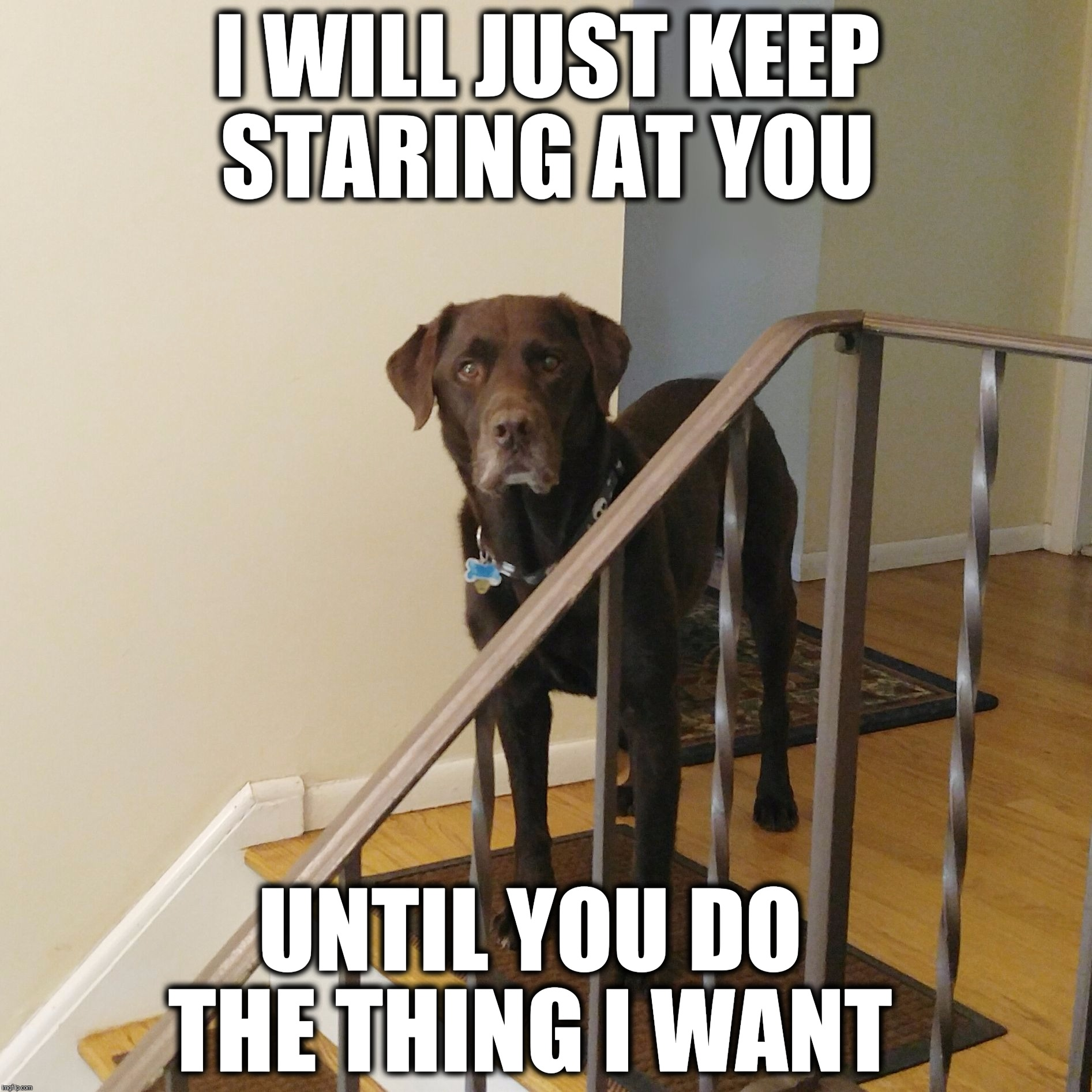 I will just keep staring at you until you do the thing I want  | I WILL JUST KEEP STARING AT YOU UNTIL YOU DO THE THING I WANT | image tagged in chuckie the chocolate lab,funny,funny dog memes,funny memes,labrador,dogs | made w/ Imgflip meme maker