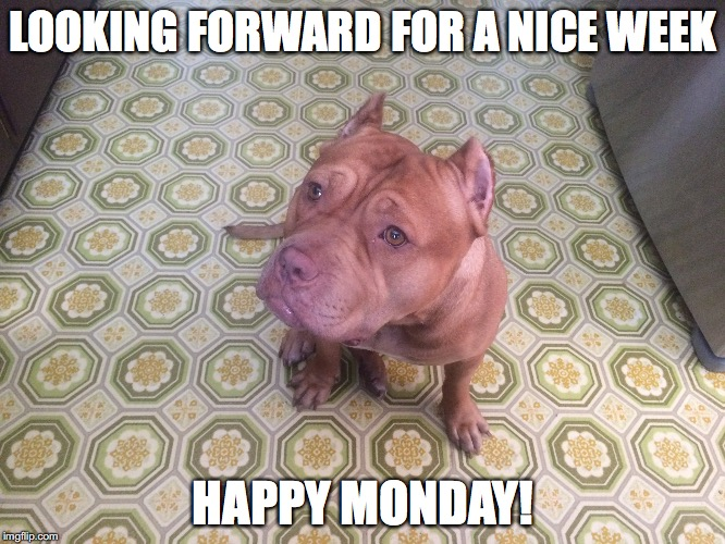 Ginger happy Monday | LOOKING FORWARD FOR A NICE WEEK HAPPY MONDAY! | image tagged in gingerbigdog,pitbulls,ilovepitbulls | made w/ Imgflip meme maker